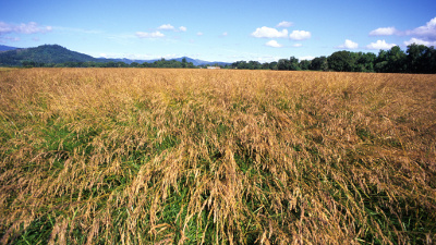 Field of tall fescue