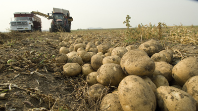 Potatoes getting harvested