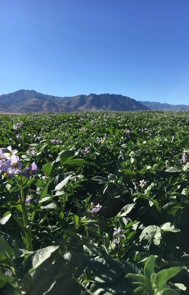Field of seed potatoes with purple flowers under a blue sky