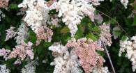 Oceanspray in bloom (Holodiscus discolor)