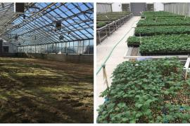 Before and after of greenhouse with dirt floor and then upgraded with gravel and tables