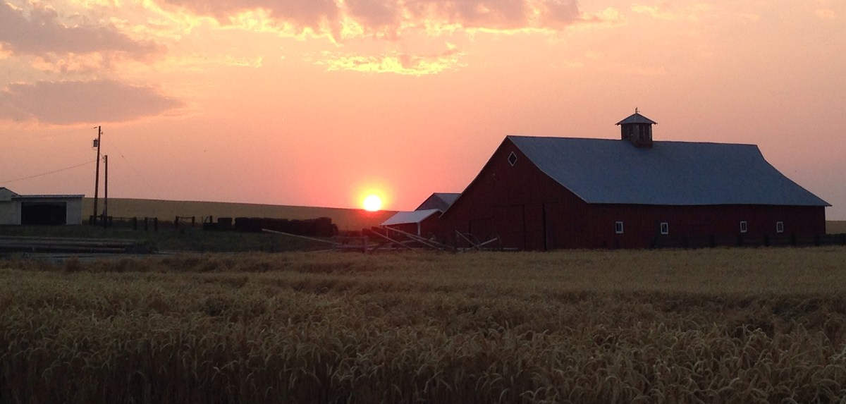Wheat field at sunset with red barn