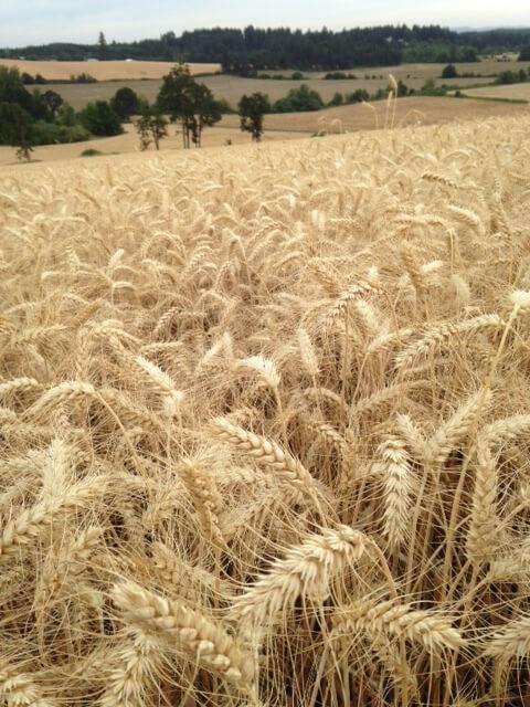 Landscape photo of a ripe wheat field